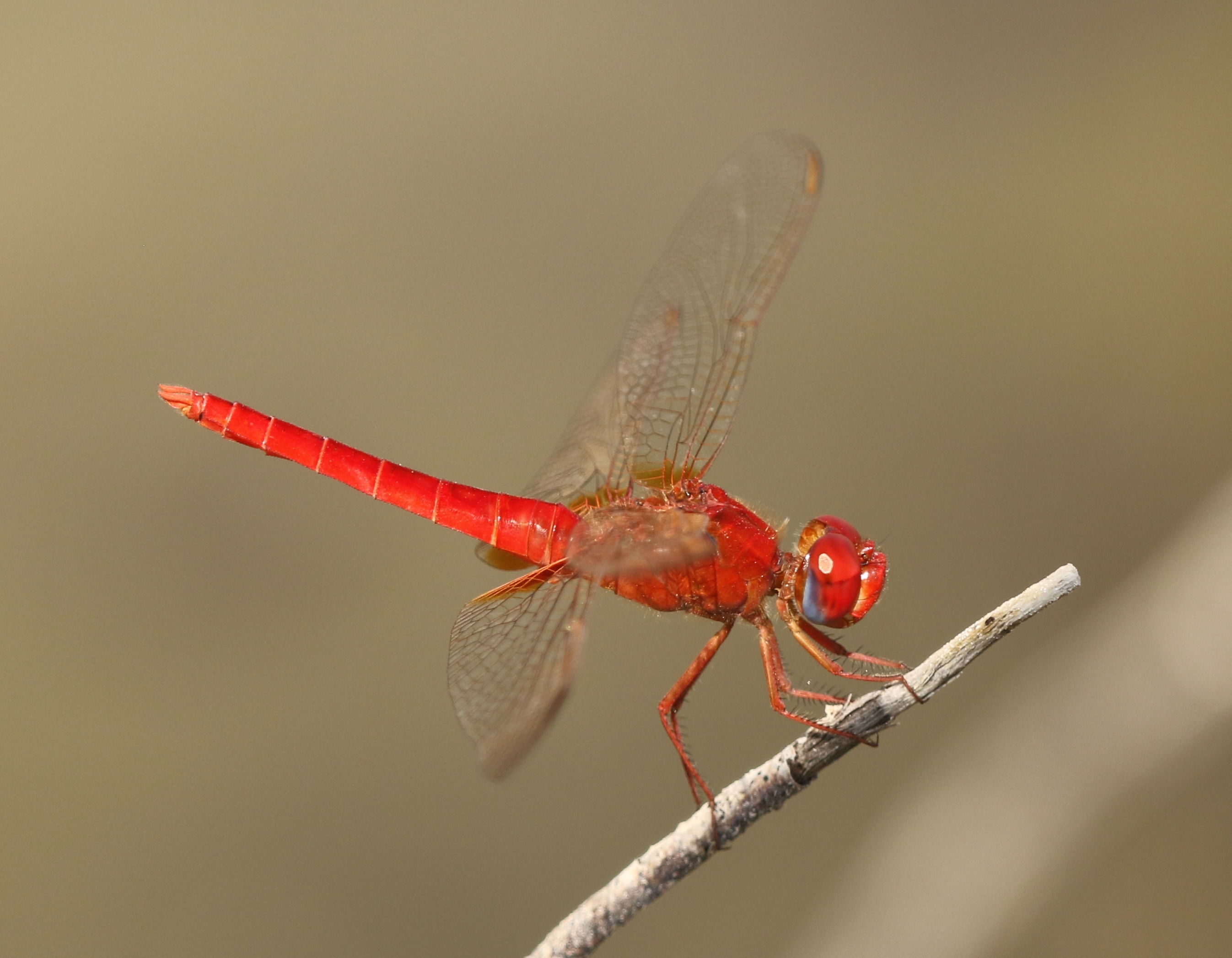 Broad Scarlet UAE