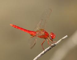 Broad Scarlet UAE