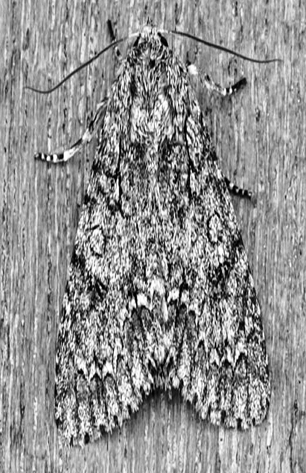 moth big