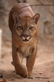 canva-the-cougar-or-mountain-lion-MADase