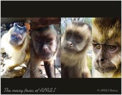 Mix Tufted Capuchin monkeys