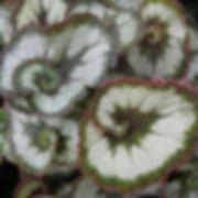 begonia rex escargot.jpg