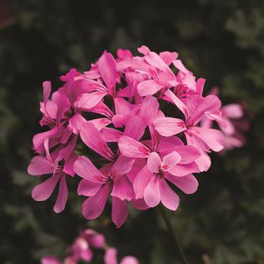 Geranium Caldera Pink