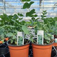 Eucalyptus Baby Blue