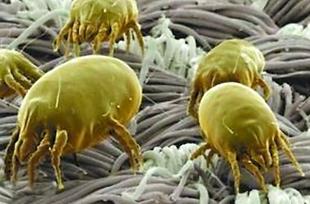 In einer Matratze können mehr als zwei Millionen Staubmilben ihren Unterschlupf finden.