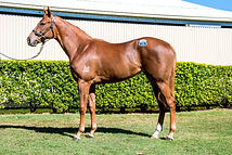 Lot 1588, Choisir x Miss Adelaide, Filly