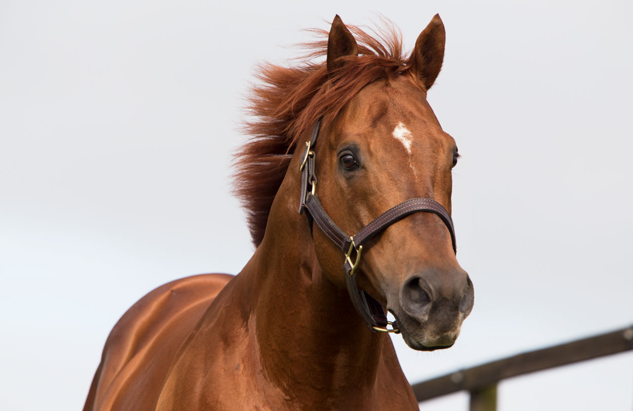 stallion_Sepoy_0097_Thoroughbred_stallion