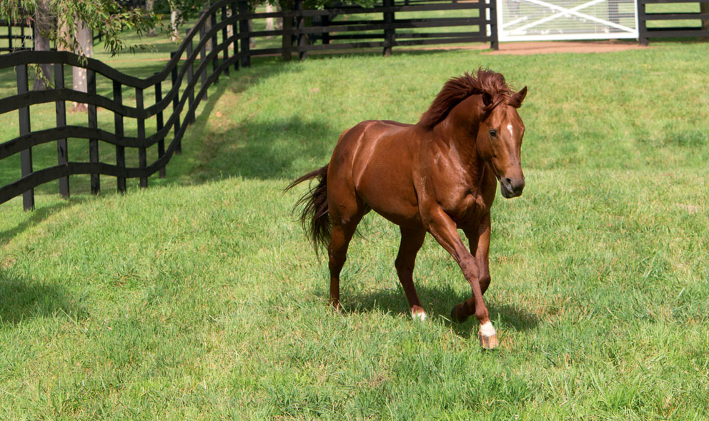 news_Sepoy_1039_Thoroughbred_stallion_in_paddock
