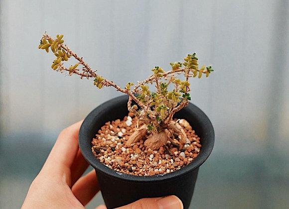 紫晃星Trichodiadema densum