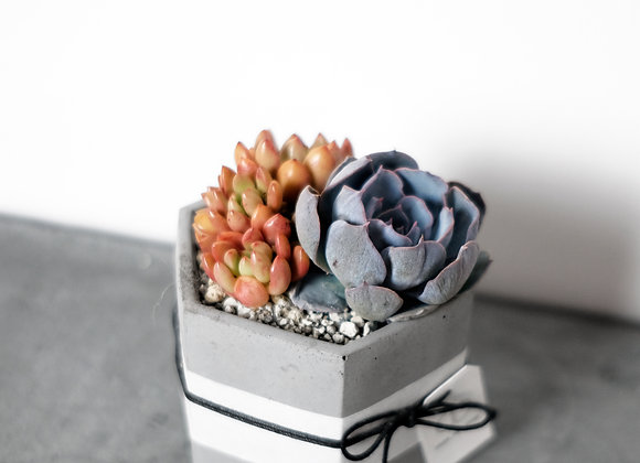 Succulents in Concrete Pot 多肉植物連水泥花盆