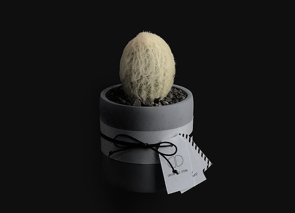 Cactus in Concrete Pot 仙人球連水泥花盆