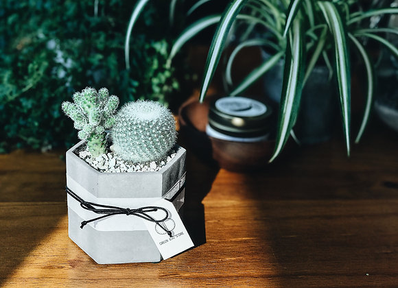 Cactus in Concrete Pot 仙人掌水泥盆栽