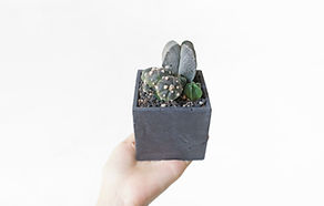 succulent, cactus, 仙人掌, green egg store, 多肉植物, 植物, 空氣草, 苔蘚, 婚禮回禮