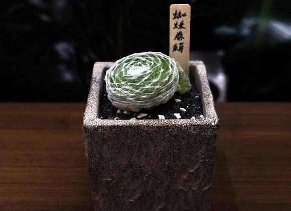 Sempervivum arachnoideum 蛛絲卷絹