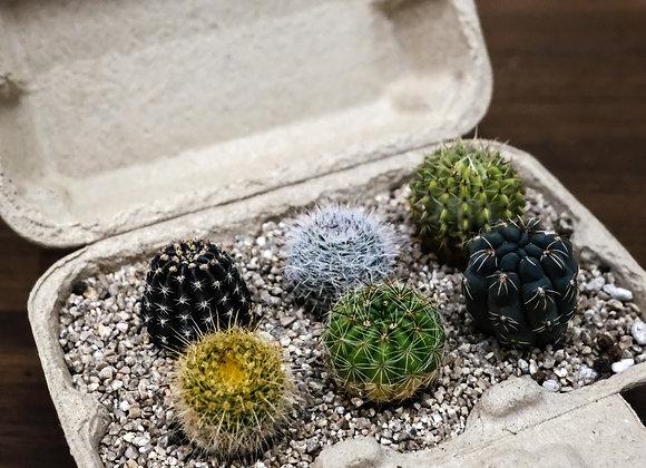 Cactus Box 迷你仙人掌盒