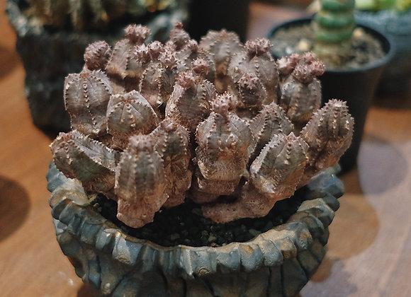 Euphorbia Jansenvillensis in Satokeiichi pot