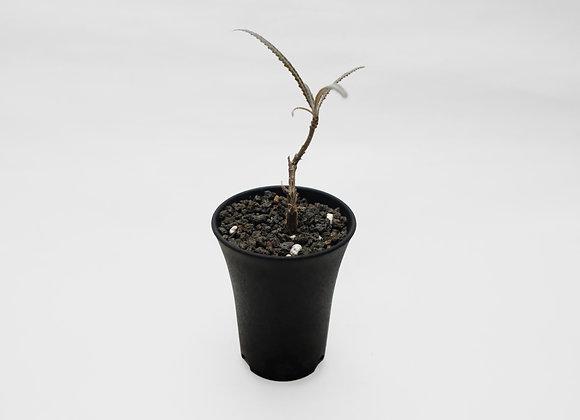 艾朗乳香橄欖 Boswellia elongata