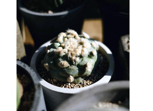 Succulent in pot 多肉植物連盆