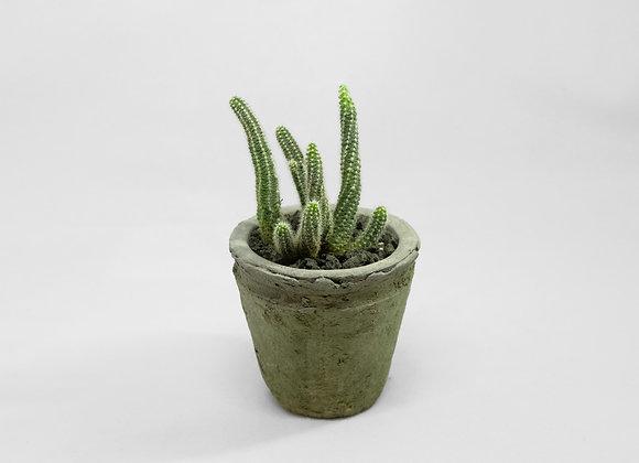 白檀柱 Echinopsis chamaecereus