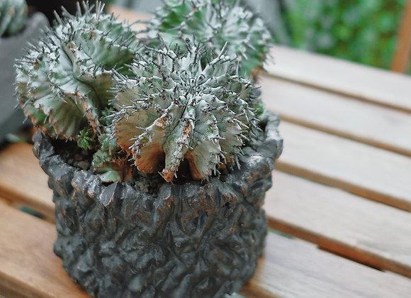 白衣魁偉玉 Euphorbia horrida. X Sato Keiichi