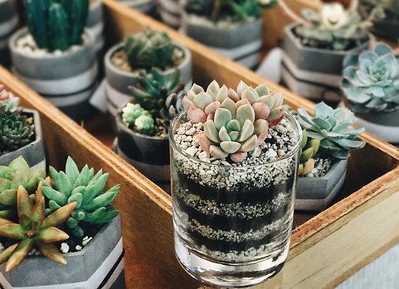 Succulents in Glass 多肉植物連玻璃杯