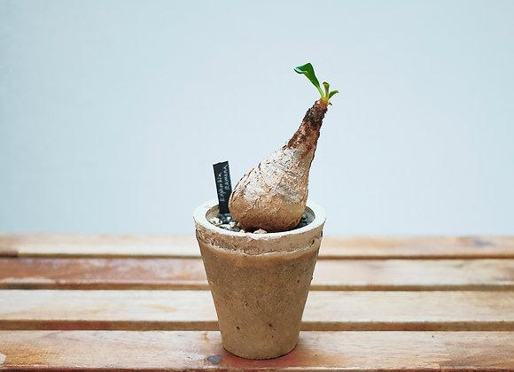 拉梅娜大戟 Euphorbia ramena