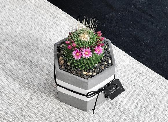 Cactus in Concrete Pot 多肉植物連水泥花盆