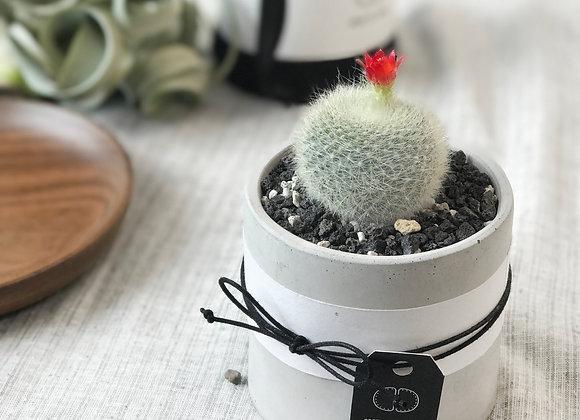 Cactus in Concrete Pot 仙人掌連水泥花盆