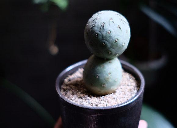 習志野|toky植物鉢
