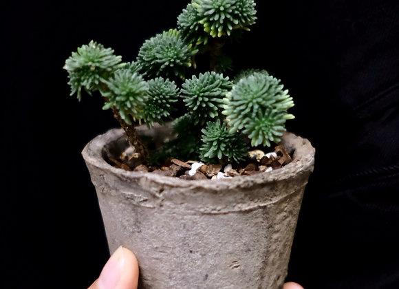 多肉植物連陶盆