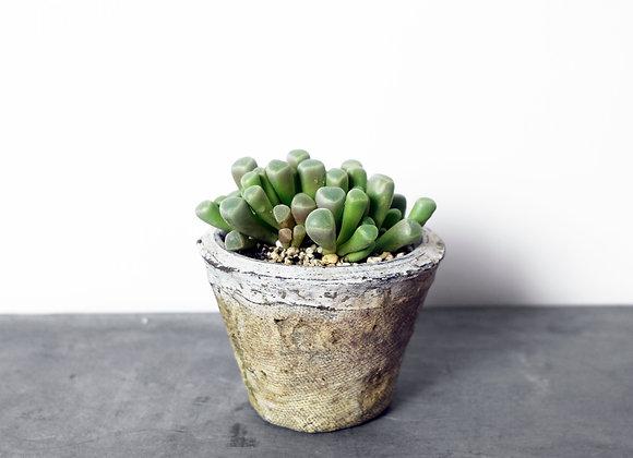 Succulent in Ceramic Pot 多肉植物連陶藝花盆