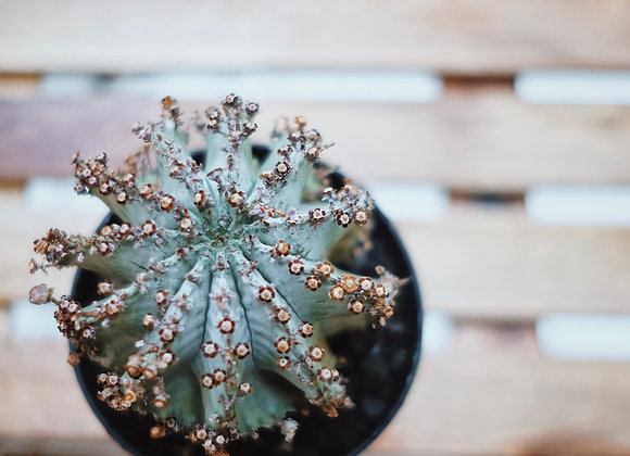 白衣魁偉玉 Euphorbia horrida