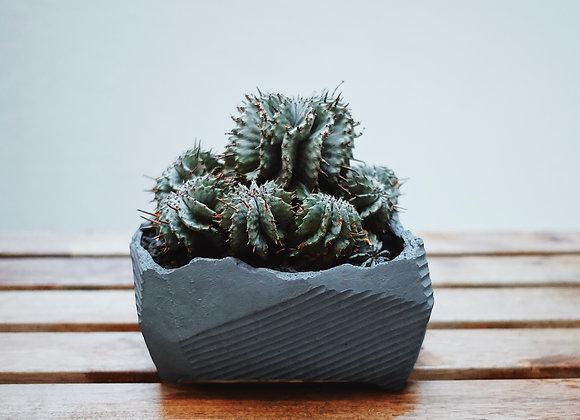 白衣魁偉玉 Euphorbia horrida. X N/OH