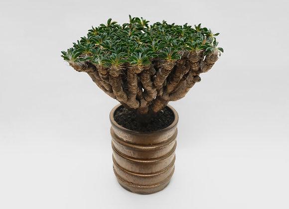 鬼棲閣 Euphorbia guillauminiana x Kamiyama