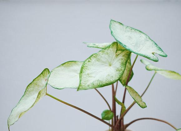 日本白彩葉芋