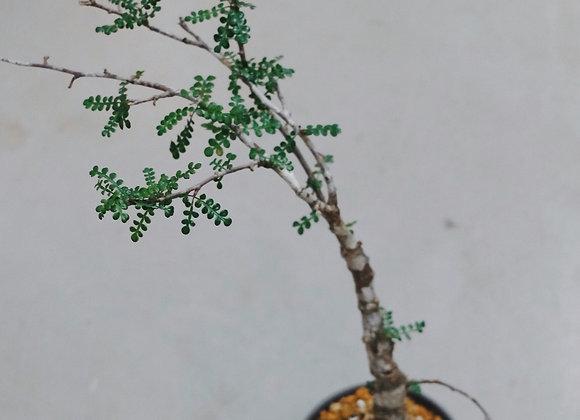 列加氏漆樹