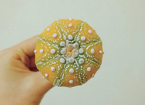 黃兜 Astrophytum asterias