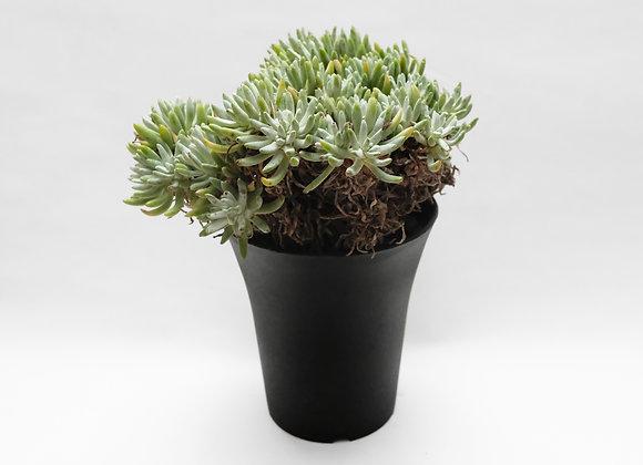 拇指仙女杯 Dudleya pachyphytum