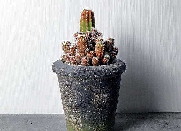 Cactus in Ceramic Pot 仙人掌連陶藝花盆