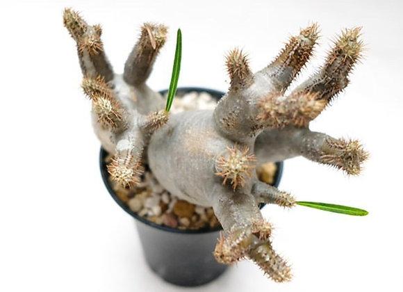 象牙宮 Pachypodium gracilius