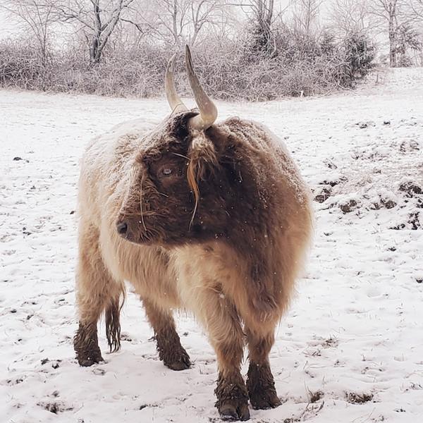 Dun Highland Cow