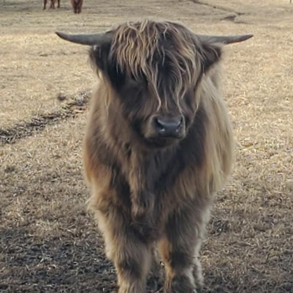 Dun Highland Bull
