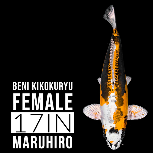 Beni Kikokuryu