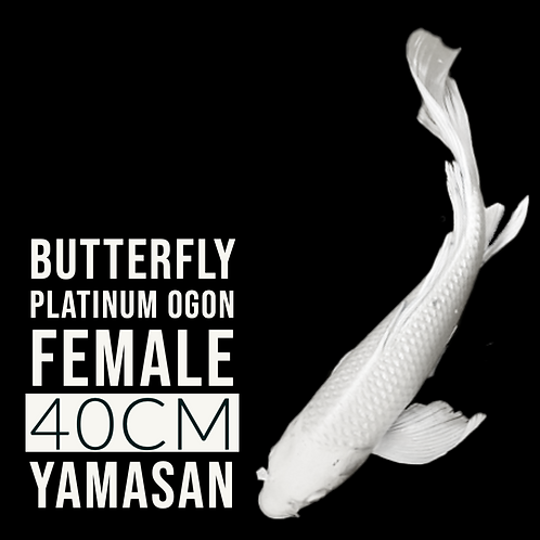 Platinum Ogon (Butterfly)