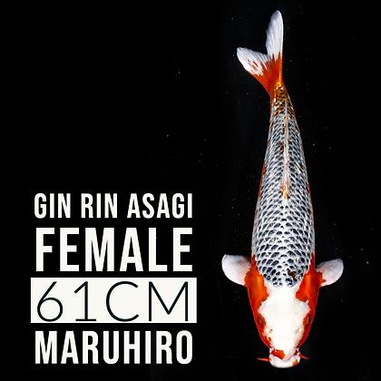 Gin Rin Asagi