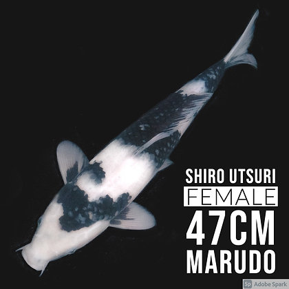 Shiro Utsuri