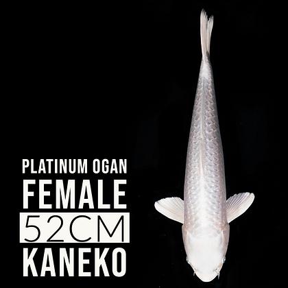 Platinum Ogon