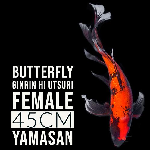 Hi Utsuri (Butterfly)