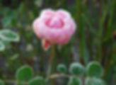 frozen rose.jpg