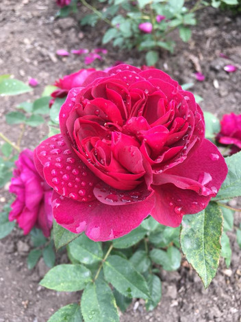 Saughton Park Rose